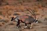 Africa;african;Animal;Animals;Antelope;Antelopes;arid;Botswana;desert;deserts;Gemsbok;Gemsbok-National-Park;gemsboks;horns;Kalahari-Desert;Kalahari-Gemsbok-N.P.;Kalahari-Gemsbok-National-Park;Kalahari-Gemsbok-NP;Kgalagadi;Kgalagadi-Park;Kgalagadi-Transfrontier-Park;Mammal;Mammals;national-park;national-parks;natural;Nature;Oryx;Oryx-gazella;oryxes;oryxs;park;parks;remote;remoteness;Republic-of-South-Africa;reserve;reserves;run;running;safari;safaris;South-Africa;South-African-Republic;Southern-Africa;Wild;wilderness;Wildlife