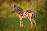 Africa;African;African-animals;African-wildlife;animal;animals;baby;black-amp;-white;black-and-white;Burchells-zebra;Burchells-zebra;calf;calves;Equus-burchellii;Equus-quagga;Equus-quagga-burchellii;foal;foals;game-drive;game-park;game-parks;game-reserve;game-reserves;game-viewing;Great-Limpopo-Transfrontier-Park;Kruger;Kruger-N.P.;Kruger-National-Park;Kruger-NP;Kruger-reserve;Kruger-to-Canyons-Biosphere;mammal;mammals;national-park;national-parks;natural;nature;Plains-zebra;Plains-zebras;Republic-of-South-Africa;reserve;reserves;safari;safaris;South-Africa;South-African-Republic;Southern-Africa;stripe;stripes;stripped;wild;wilderness;wildlife;wildlife-park;wildlife-parks;wildlife-reserve;wildlife-reserves;young;zebra;zebras