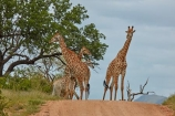Africa;African;African-animals;African-wildlife;animal;animals;frica;game-drive;game-park;game-parks;game-reserve;game-reserves;game-viewing;Giraffa-camelopardalis;Giraffa-camelopardalis-giraffa;giraffe;giraffes;Great-Limpopo-Transfrontier-Park;Kruger;Kruger-N.P.;Kruger-National-Park;Kruger-NP;Kruger-reserve;Kruger-to-Canyons-Biosphere;mammal;mammals;national-park;national-parks;natural;nature;Republic-of-South-Africa;reserve;reserves;road;road-block;safari;safaris;South-Africa;South-African-Giraffe;South-African-Giraffes;South-African-Republic;Southern-Africa;wild;wilderness;wildlife;wildlife-park;wildlife-parks;wildlife-reserve;wildlife-reserves