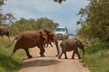 4x4;Africa;African;African-animals;African-bush-elephant;African-bush-elephants;African-elephant;African-elephants;African-wildlife;animal;animals;babies;baby;calf;calfs;calves;car;cars;crossing;danger;dangerous;elephant;elephants;game-drive;game-park;game-parks;game-reserve;game-reserves;game-viewing;Great-Limpopo-Transfrontier-Park;Kruger;Kruger-N.P.;Kruger-National-Park;Kruger-NP;Kruger-reserve;Kruger-to-Canyons-Biosphere;Loxodonta-africana;mammal;mammals;national-park;national-parks;natural;nature;pachyderm;pachyderms;Republic-of-South-Africa;reserve;reserves;road;road-block;road-blocks;roads;safari;safaris;South-Africa;South-African-Republic;Southern-Africa;traffic;tusk;tusks;wild;wilderness;wildlife;wildlife-park;wildlife-parks;wildlife-reserve;wildlife-reserves