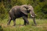 Africa;African;African-animals;African-bush-elephant;African-bush-elephants;African-elephant;African-elephants;African-wildlife;animal;animals;elephant;elephants;game-drive;game-park;game-parks;game-reserve;game-reserves;game-viewing;Great-Limpopo-Transfrontier-Park;Kruger;Kruger-N.P.;Kruger-National-Park;Kruger-NP;Kruger-reserve;Kruger-to-Canyons-Biosphere;Loxodonta-africana;mammal;mammals;national-park;national-parks;natural;nature;pachyderm;pachyderms;Republic-of-South-Africa;reserve;reserves;safari;safaris;South-Africa;South-African-Republic;Southern-Africa;tusk;tusks;wild;wilderness;wildlife;wildlife-park;wildlife-parks;wildlife-reserve;wildlife-reserves;Berg_en_Dal;Berg-en-Dal
