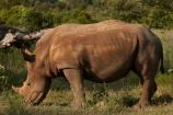 Africa;African;African-animals;African-wildlife;animal;animals;Ceratotherium-simum;Ceratotherium-simum-simum;endangered;endangered-species;endangered-wildlife;game-drive;game-park;game-parks;game-reserve;game-reserves;game-viewing;Great-Limpopo-Transfrontier-Park;horn;horns;Kruger;Kruger-N.P.;Kruger-National-Park;Kruger-NP;Kruger-reserve;Kruger-to-Canyons-Biosphere;mammal;mammals;national-park;national-parks;natural;nature;Republic-of-South-Africa;reserve;reserves;rhino;rhino-horn;rhinoceros;rhinoceroses;rhinos;safari;safaris;South-Africa;South-African-Republic;Southern-Africa;southern-square_lipped-rhinoceros;southern-square_lipped-rhinoceroses;southern-white-rhinoceros;southern-white-rhinoceroses;square_lipped-rhinoceros;square_lipped-rhinoceroses;threatened;threatened-species;threatened-wildlife;white-rhino;white-rhinoceros;white-rhinos;wild;wilderness;wildlife;wildlife-park;wildlife-parks;wildlife-reserve;wildlife-reserves