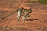 Africa;babies;baby;baby-monkey;baby-monkeys;Chlorocebus-pygerythrus;Chlorocebus-pygerythrus-pygerythus;mammal;mammals;monkey;monkeys;primate;primates;Southern-Africa;V.F.;Vervet;Vervet-monkey;Vervet-monkeys;Vervets;VF;Vic-Falls;Vic.-Falls;Victoria-Falls;Victoria-Falls-Market;wildlife;young;Zimbabwe