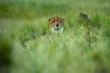Acinonyx-jubatus;Africa;animal;animals;carnivore;carnivores;cat;cats;Cheetah;cheetahs;Felidae;Felinae;feline;felines;game-park;game-parks;game-reserve;game-reserves;Hwange-N.P.;Hwange-National-Park;Hwange-NP;mammal;mammals;national-park;national-parks;predator;predators;Southern-Africa;Wankie-Game-Reserve;wildlife;wildlife-park;wildlife-parks;wildlife-reserve;wildlife-reserves;Zimbabwe