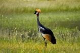 Africa;Animal;animals;avian;Balearica-regulorum;bird;bird-spotting;bird-watching;bird_watching;birds;crane;cranes;Crowned-Crane;Crowned-Cranes;eco-tourism;eco_tourism;ecotourism;Fauna;game-park;game-parks;game-reserve;game-reserves;Gray-Crowned-Crane;Gray-Crowned-Cranes;Grey-Crowned-Crane;Grey-Crowned-Cranes;Hwange-N.P.;Hwange-National-Park;Hwange-NP;national-park;national-parks;Natural;Nature;Ornithology;Southern-Africa;Wankie-Game-Reserve;wild;wildlife;wildlife-park;wildlife-parks;wildlife-reserve;wildlife-reserves;Zimbabwe