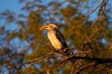 Africa;Animal;animals;avian;bird;bird-spotting;bird-watching;bird_watching;birds;eco-tourism;eco_tourism;ecotourism;Fauna;game-park;game-parks;game-reserve;game-reserves;hornbill;hornbills;Hwange-N.P.;Hwange-National-Park;Hwange-NP;national-park;national-parks;Natural;Nature;Ornithology;Southern-Africa;Southern-Yellow-billed-Hornbill;Southern-Yellow-billed-Hornbill-Tockus-leucomelas;Southern-Yellow-billed-hornbills;Southern-Yellow_billed-Hornbill;Southern-Yellow_billed-Hornbills;Southern-Yellowbilled-Hornbill;Southern-Yellowbilled-Hornbills;Wankie-Game-Reserve;wild;wildlife;wildlife-park;wildlife-parks;wildlife-reserve;wildlife-reserves;Yellow-billed-Hornbills;Yellow_billed-Hornbill;Yellow_billed-Hornbills;Yellowbilled-Hornbill;Yellowbilled-Hornbills;Zimbabwe