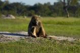 Africa;animal;animals;baboon;baboons;Cape-baboon;Cape-baboons;Chacma-baboon;Chacma-baboons;game-park;game-parks;game-reserve;game-reserves;Gray_footed-chacma-baboon;Hwange-N.P.;Hwange-National-Park;Hwange-NP;mammal;mammals;monkey;monkeys;national-park;national-parks;Papio-ursinus;Papio-ursinus-griseipes;Southern-Africa;Wankie-Game-Reserve;wildlife;wildlife-park;wildlife-parks;wildlife-reserve;wildlife-reserves;Zimbabwe