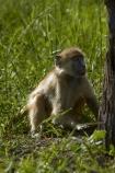 Africa;animal;animals;baboon;baboons;Cape-baboon;Cape-baboons;Chacma-baboon;Chacma-baboons;game-park;game-parks;game-reserve;game-reserves;Gray_footed-chacma-baboon;Hwange-N.P.;Hwange-National-Park;Hwange-NP;juvenile-baboon;mammal;mammals;monkey;monkeys;national-park;national-parks;Papio-ursinus;Papio-ursinus-griseipes;Southern-Africa;Wankie-Game-Reserve;wildlife;wildlife-park;wildlife-parks;wildlife-reserve;wildlife-reserves;young;Zimbabwe