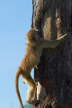 Africa;animal;animals;baboon;baboons;Cape-baboon;Cape-baboons;Chacma-baboon;Chacma-baboons;climbing;game-park;game-parks;game-reserve;game-reserves;Gray_footed-chacma-baboon;Hwange-N.P.;Hwange-National-Park;Hwange-NP;juvenile-baboon;mammal;mammals;monkey;monkeys;national-park;national-parks;Papio-ursinus;Papio-ursinus-griseipes;Southern-Africa;tree;tree-trunk;tree-trunks;trees;Wankie-Game-Reserve;wildlife;wildlife-park;wildlife-parks;wildlife-reserve;wildlife-reserves;young;Zimbabwe