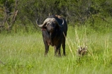 Africa;African-buffalo;African-buffaloes;animal;animals;buffalo;buffalo-herd;buffalo-herds;buffaloes;Cape-buffalo;cape-buffaloes;game-park;game-parks;game-reserve;game-reserves;Hwange-N.P.;Hwange-National-Park;Hwange-NP;mammal;mammals;national-park;national-parks;Southern-Africa;Syncerus-caffer;Syncerus-caffer-caffer;Wankie-Game-Reserve;wildlife;wildlife-park;wildlife-parks;wildlife-reserve;wildlife-reserves;Zimbabwe