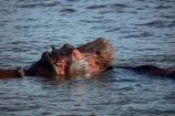 Africa;African;African-animals;African-wildlife;animal;animals;hippo;hippopotami;hippopotamus;Hippopotamus-amphibius;hippopotamuses;hippos;mammal;mammals;river;rivers;Southern-Africa;wildlife;Zambezi;Zambezi-River;Zimbabwe