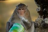Angkor-Wat;animal;animals;Asia;Cambodia;Indochina-Peninsula;Kampuchea;Kingdom-of-Cambodia;Long_Tailed-Macaque;Long_Tailed-Macaque-Monkey;Long_Tailed-Macaque-Monkeys;Macaca-fascicularis;monkey;monkeys;primate;primates;Siem-Reap;Siem-Reap-Province;Southeast-Asia;stolen-milk-powder;wild;wildlife