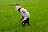 agricultural;agriculture;Asia;Asian;Asian-conical-hat;Asian-conical-hats;Cam-Kim;Cam-Kim-Island;Central-Sea-region;conical-hat;conical-hats;country;countryside;crop;crops;farm;farming;farmland;farms;female;females;field;fields;Hi-An;hard-work;Hoi-An;Hoian;horticulture;Indochina;ladies;lady;leaf-hat;leaf-hats;meadow;meadows;non-la;nón-lá;paddock;paddocks;paddy-field;paddy-fields;palm_leaf-conical-hat;pasture;pastures;people;person;rice-field;rice-fields;rice-paddies;rice-paddy;rural;South-East-Asia;Southeast-Asia;Vietnam;Vietnamese;Vietnamese-conical-hat;Vietnamese-conical-hats;Vietnamese-hat;Vietnamese-hats;Vietnamese-symbol;woman;women;worker;workers