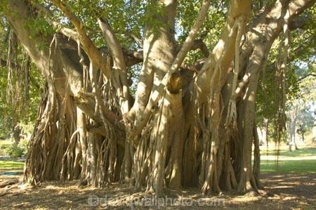 australasia;Australia;australian;Banyan-Fig-Tree;botanic-gardens;botanical;Brisbane;City-Botanic-Gardens;figs;indian;old;Queensland;root;roots;strangler-fig;tree;trees