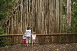 Atherton-Tableland;Atherton-Tablelands;australasia;Australasian;Australia;australian;bark;boardwalk;boardwalks;boy;boys;bush;child;children;Curtain-Fig-Forest-Reserve;Curtain-Fig-Tree;environment;families;family;Fig-Tree;Fig-Trees;foliage;forest;forests;girl;girls;little-girl;little-girls;lumber;natural;nature;North-Queensland;old;parasite;parasitic;plant;Qld;Queensland;rain-forest;rain-forests;rain_forest;rain_forests;rainforest;rainforests;root;roots;strangler-fig;strangler-fig-tree;strangler-fig-trees;strangler-figs;tourism;tourist;tourists;tree;tree-trunk;tree-trunks;trees;tropical;tropical-rainforest;tropical-rainforests;tropical-vegetation;trunk;trunks;vegetation;wilderness;woman;wood;woods;Yungaburra