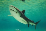 amusement-park;amusement-parks;aquarium;aquariums;australasia;Australia;danger;dangerous;entertainment;fear;fearful;fun;fun-park;fun-parks;glass;Gold-Coast;holiday;holidays;marine;Marine-life;park;parks;pool;Queensland;Sea;sea-world;shark;shark-bay;sharks;Surfers-Paradise;theme-park;theme-parks;tourism;travel;underwater;vacation;vacations;view