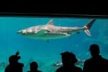 amusement-park;amusement-parks;aquarium;aquariums;australasia;Australia;danger;dangerous;entertainment;fear;fearful;fun;fun-park;fun-parks;glass;Gold-Coast;holiday;holidays;marine;Marine-life;park;parks;people;pool;Queensland;Sea;sea-world;shark;shark-bay;sharks;Surfers-Paradise;theme-park;theme-parks;tourism;travel;underwater;vacation;vacations;view;viewing;watch;watching