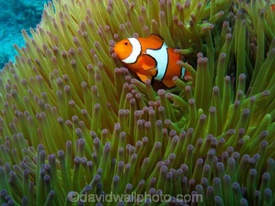 Agincourt-Reef;Agincourt-Reefs;Amphiprion-ocellaris;Anemone;Anemones;Australasian;Australia;Australian;Barrier-Reef;Clown-Anemonefish;Clown-Anemonefishes;clownfish;clownfishes;common-clownfish;common-clownfishes;coral-reef;coral-reefs;Coral-Sea;dive-site;dive-sites;diving;ecosystem;environment;false-clown-anemonefish;false-clown-anemonefishes;false_clown-anemonefish;false_clown-anemonefishes;fish;fishes;Great-Barrier-Reef;Great-Barrier-Reef-Marine-Park;marine;marine-environment;marine-life;marinelife;nemo;North-Queensland;Ocean;oceanlife;Oceans;Pomacentridae;Qld;Queensland;reef;reefs;ribbon-reef;ribbon-reefs;ribbonreef;ribbonreefs;scuba-diving;Sea;sealife;Seas;South-Pacific;Tasman-Sea;Tropcial-North-Queensland;tropical-reef;tropical-reefs;under-water;under_water;undersea;underwater;underwater-photo;underwater-photography;underwater-photos;UNESCO-World-Heritage-Site;Western-Anemonefish;western-clownfish;Western-Clownfishes;Wiorld-Heritage-Site;World-Heritage-Area;World-Heritage-Park