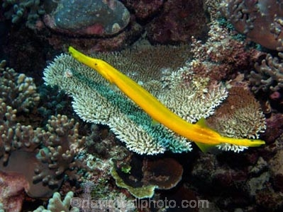 Agincourt-Reef;Agincourt-Reefs;Aulostomus-chimensis;Australasian;Australia;Australian;Barrier-Reef;coral-reef;coral-reefs;Coral-Sea;dive-site;dive-sites;diving;ecosystem;environment;fish;fishes;flutemouth;flutemouths;Great-Barrier-Reef;Great-Barrier-Reef-Marine-Park;long;marine;marine-environment;marine-life;marinelife;North-Queensland;Ocean;oceanlife;Oceans;Painted-Flute-Mouth;Painted-Flute-Mouths;Painted-Flute_mouth;Painted-Flute_mouths;Painted-Flutemouth;Painted-Flutemouths;Qld;Queensland;reef;reefs;ribbon-reef;ribbon-reefs;ribbonreef;ribbonreefs;scuba-diving;Sea;sealife;Seas;skinny;South-Pacific;Tasman-Sea;Tropcial-North-Queensland;tropical-reef;tropical-reefs;trumpet-fish;trumpet-fishes;trumpet_fish;trumpet_fishes;trumpetfish;trumpetfishes;under-water;under_water;undersea;underwater;underwater-photo;underwater-photography;underwater-photos;UNESCO-World-Heritage-Site;unusual;Wiorld-Heritage-Site;World-Heritage-Area;World-Heritage-Park;yellow
