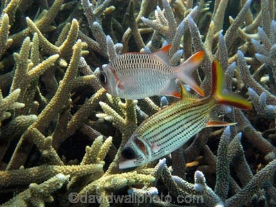 Agincourt-Reef;Agincourt-Reefs;Australasian;Australia;Australian;Barrier-Reef;coral-reef;coral-reefs;Coral-Sea;dive-site;dive-sites;diving;ecosystem;environment;fish;fishes;Great-Barrier-Reef;Great-Barrier-Reef-Marine-Park;Holocentridae;Lattice-Soldier;Lattice-Soldier_fish;Lattice-Soldier_fishes;Lattice-Soldierfish;Lattice-Soldierfishes;marine;marine-environment;marine-life;marinelife;Myripristis-violacea;Neoniphon-sammara;North-Queensland;Ocean;oceanlife;Oceans;Orangefin-Soldierfish;Qld;Queensland;reef;reefs;ribbon-reef;ribbon-reefs;ribbonreef;ribbonreefs;scuba-diving;Sea;sealife;Seas;soldierfish;soldierfishes;South-Pacific;Spot_fin-Squirrelfish;Spot_fin-Squirrelfishes;Spotfin-Squirrelfish;Spotfin-Squirrelfishes;Staghorn-Coral;Tasman-Sea;Tropcial-North-Queensland;tropical-reef;tropical-reefs;under-water;under_water;undersea;underwater;underwater-photo;underwater-photography;underwater-photos;UNESCO-World-Heritage-Site;Wiorld-Heritage-Site;World-Heritage-Area;World-Heritage-Park