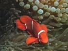 Agincourt-Reef;Agincourt-Reefs;Anemone;Anemones;Australasian;Australia;Australian;Barrier-Reef;coral-reef;coral-reefs;Coral-Sea;dive-site;dive-sites;diving;ecosystem;environment;fish;fishes;Great-Barrier-Reef;Great-Barrier-Reef-Marine-Park;marine;marine-environment;marine-life;marinelife;North-Queensland;Ocean;oceanlife;Oceans;Pomacentridae;Premnas-biaculeatus;Qld;Queensland;reef;reefs;ribbon-reef;ribbon-reefs;ribbonreef;ribbonreefs;scuba-diving;Sea;sealife;Seas;South-Pacific;Spine_cheek-Anemonefish;Spine_cheek-Anemonefishes;Tasman-Sea;Tropcial-North-Queensland;tropical-reef;tropical-reefs;under-water;under_water;undersea;underwater;underwater-photo;underwater-photography;underwater-photos;UNESCO-World-Heritage-Site;Wiorld-Heritage-Site;World-Heritage-Area;World-Heritage-Park