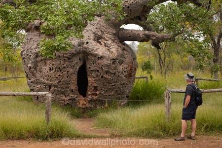 Adansonia-gregorii;Australasian;Australia;Australian;Australian-baobab;baobab-tree;baobab-trees;Boab-Prison-Tree;boab-tree;boab-trees;bottle-tree;bottle-trees;cream-of-tartar-tree;Derby;gadawon;gaol;gaols;gourd_gourd-tree;heritage;historic;historic-place;historic-places;historic-site;historic-sites;historical;historical-place;historical-places;historical-site;historical-sites;history;jail;jails;Kimberley;Kimberley-Region;old;people;person;Prison-Boab-Tree;The-Kimberley;tourism;tourist;tourists;tree;trees;W.A.;WA;West-Australia;Western-Australia