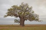 Adansonia-gregorii;Australasian;Australia;Australian;Australian-baobab;baobab-tree;baobab-trees;boab-tree;boab-trees;bottle-tree;bottle-trees;cream-of-tartar-tree;Derby;Dinner-Tree;gadawon;gourd_gourd-tree;Kimberley;Kimberley-Region;One-Mile-Dinner-Camp;plain;plains;The-Dinner-Tree;The-Kimberley;tree;trees;W.A.;WA;West-Australia;Western-Australia