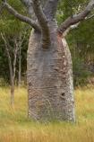 Adansonia-gregorii;Australasian;Australia;Australian;Australian-baobab;baobab-tree;baobab-trees;boab-tree;boab-trees;bottle-tree;bottle-trees;cream-of-tartar-tree;Derby;gadawon;gourd_gourd-tree;Kimberley;Kimberley-Region;The-Kimberley;tree;trees;W.A.;WA;West-Australia;Western-Australia