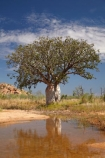 Adansonia-gregorii;Australasia;Australasian;Australia;Australian;Australian-baobab;Australian-Desert;Australian-Outback;back-country;backcountry;backwoods;baobab-tree;baobab-trees;billabong;billabongs;boab-tree;boab-trees;bottle-tree;bottle-trees;country;countryside;cream-of-tartar-tree;d;Derby;gadawon;geographic;geography;gourd_gourd-tree;Great-Northern-Highway;Kimberley;Kimberley-Region;Outback;pond;ponds;puddle;rainy-season;remote;remoteness;rural;seasonal-waterhole;The-Kimberley;tree;tree-trunk;tree-trunks;trees;trunk;trunks;Turkey-Creek;W.A.;WA;Warmun;waterhole;waterholes;West-Australia;Western-Australia;wet-season;wilderness