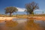 Adansonia-gregorii;Australasia;Australasian;Australia;Australian;Australian-baobab;Australian-Desert;Australian-Outback;back-country;backcountry;backwoods;baobab-tree;baobab-trees;billabong;billabongs;boab-tree;boab-trees;bottle-tree;bottle-trees;country;countryside;cream-of-tartar-tree;d;Derby;gadawon;geographic;geography;gourd_gourd-tree;Great-Northern-Highway;Kimberley;Kimberley-Region;Outback;pond;ponds;puddle;rainy-season;remote;remoteness;rural;seasonal-waterhole;The-Kimberley;tree;tree-trunk;tree-trunks;trees;trunk;trunks;Turkey-Creek;W.A.;WA;Warmun;waterhole;waterholes;West-Australia;Western-Australia;wet-season;wilderness
