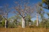 Adansonia-gregorii;Australasia;Australasian;Australia;Australian;Australian-baobab;Australian-Desert;Australian-Outback;back-country;backcountry;backwoods;baobab-tree;baobab-trees;boab-tree;boab-trees;bottle-tree;bottle-trees;country;countryside;cream-of-tartar-tree;d;Derby;gadawon;geographic;geography;gourd_gourd-tree;Great-Northern-Highway;Kimberley;Kimberley-Region;Kununurra;Outback;remote;remoteness;rural;The-Kimberley;tree;tree-trunk;tree-trunks;trees;trunk;trunks;W.A.;WA;West-Australia;Western-Australia;wilderness