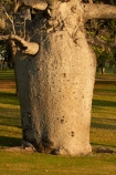Adansonia-gregorii;Australasian;Australia;Australian;Australian-baobab;baobab-tree;baobab-trees;boab-tree;boab-trees;bottle-tree;bottle-trees;Celebrity-Tree-Park;cream-of-tartar-tree;gadawon;gourd_gourd-tree;Kimberley;Kimberley-Region;Kununurra;The-Kimberley;tree;trees;W.A.;WA;West-Australia;Western-Australia