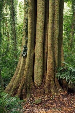 Australasian;Australia;Australian;Central-Eastern-Rainforest-Reserves;Dorrigo-N.P.;Dorrigo-National-Park;Dorrigo-NP;Dorrigo-Rainforest;forest;forests;Gondwana-Rainforests-of-Australia;green;lush;Mid-North-Coast;Mid-North-Coast-NSW;Mid-North-Nsw;Mid-Northern-NSW;N.S.W.;New-South-Wales;NSW;rainforest;rainforests;timber;tree;tree-trunk;tree-trunks;trees;trunk;trunks;verdant;Waterfall-Way;Wonga-Walk;wood;World-Heritage-Site
