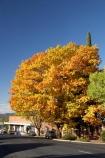 australasia;Australasian;Australia;australian;autuminal;autumn;autumn-colour;autumn-colours;autumnal;Batlow;color;colors;colour;colours;deciduous;fall;leaf;leaves;N.S.W.;New-South-Wales;NSW;oak;oak-tree;oak-trees;oaks;season;seasonal;seasons;Snowy-Mountains;Snowy-Mountains-Drive;South-New-South-Wales;South-West-Slopes;Southern-New-South-Wales;tree;trees;Tumbarumba-Rd;Tumbarumba-Road;yellow