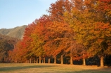 Alpine-Way;Australia;autuminal;autumn;autumn-colour;autumn-colours;autumnal;color;colors;colour;colours;deciduous;fall;Khancoban;leaf;leaves;N.S.W.;New-South-Wales;NSW;oak;oak-tree;oak-trees;oaks;red;season;seasonal;seasons;Snowy-Mountains;Snowy-Mountains-Drive;South-New-South-Wales;Southern-New-South-Wales;tree;trees