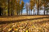 Alpine-Way;Australia;autuminal;autumn;autumn-colour;autumn-colours;autumn-leaves;autumnal;color;colors;colour;colours;deciduous;fall;fallen-leaves;leaf;leaves;N.S.W.;New-South-Wales;NSW;picnic-area;picnic-areas;season;seasonal;seasons;Snowy-Mountains;Snowy-Mountains-Drive;South-New-South-Wales;Southern-New-South-Wales;tree;trees;yellow