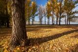 Alpine-Way;Australia;autuminal;autumn;autumn-colour;autumn-colours;autumn-leaves;autumnal;bark;color;colors;colour;colours;deciduous;fall;fallen-leaves;leaf;leaves;N.S.W.;New-South-Wales;NSW;picnic-area;picnic-areas;season;seasonal;seasons;Snowy-Mountains;Snowy-Mountains-Drive;South-New-South-Wales;Southern-New-South-Wales;tree;tree-trunk;tree-trunks;trees;yellow