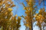 Alpine-Way;Australia;autuminal;autumn;autumn-colour;autumn-colours;autumnal;color;colors;colour;colours;deciduous;fall;leaf;leaves;N.S.W.;New-South-Wales;NSW;picnic-area;picnic-areas;season;seasonal;seasons;Snowy-Mountains;Snowy-Mountains-Drive;South-New-South-Wales;Southern-New-South-Wales;tree;trees;yellow