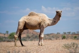 animal;arid;Australasia;Australasian;Australia;Australian;Australian-Desert;Australian-Deserts;Australian-Outback;back-country;backcountry;backwoods;camel;camels;country;countryside;desert;desert-animal;deserts;dromedaries;dromedary;dry;geographic;geography;mammal;mammals;N.T.;Northern-Territory;NT;Outback;red-centre;remote;remoteness;rock;rural;sand;Stuart-Highway;wilderness