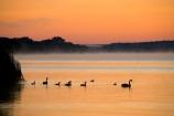 Australasia;Australia;Australian;bird;birds;break-of-day;calm;dawn;dawning;daybreak;first-light;Mannum;morning;Murray-Basin;Murray-Darling-Basin;Murray-Darling-System;Murray-River;orange;placid;quiet;reflection;reflections;River;rivers;S.A.;SA;serene;silhouette;silhouettes;smooth;South-Australia;still;sunrise;sunrises;sunup;swan;swans;tranquil;twilight