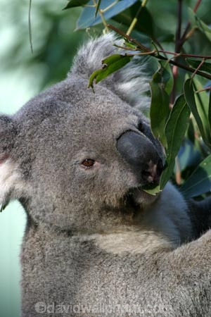 taronga;zoo;Animal;Animals;Australia;Close-up;Close_up;Koala;Koalas;Mammal;Mammals;Marsupial;Marsupials;Nature;Oceania;animal;Phascolarctos-cinereus;Wild;Wildlife;Zoology;Phascolarctos;climb;climbs;tree;trees;fur;furry
