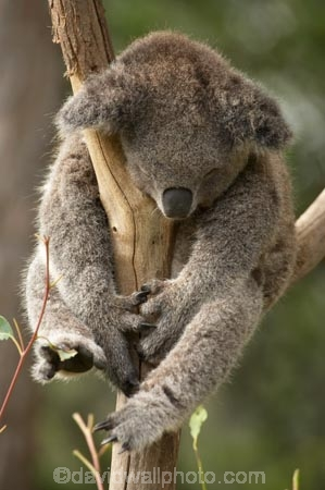 Animal;Animals;Australasia;Australia;australian;climb;climbs;Close-up;Close_up;eucalyptus;face;fur;furry;gum-tree;Koala;Koalas;Mammal;Mammals;Marsupial;Marsupials;N.S.W.;Nature;New-South-Wales;NSW;Oceania;Phascolarctos;Phascolarctos-cinereus;sleep;sleepy;Sydney;Taronga-Zoo;tree;trees;Wild;Wildlife;zoo;Zoology