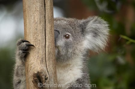 Animal;Animals;Australasia;Australia;australian;climb;climbs;Close-up;Close_up;eucalyptus;face;fur;furry;gum-tree;Koala;Koalas;Mammal;Mammals;Marsupial;Marsupials;N.S.W.;Nature;New-South-Wales;NSW;Oceania;peek;peeking;Phascolarctos;Phascolarctos-cinereus;Sydney;Taronga-Zoo;tree;trees;Wild;Wildlife;zoo;Zoology