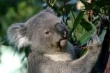 taronga;zoo;sydney;Animal;Animals;Australia;Close-up;Close_up;Koala;Koalas;Mammal;Mammals;Marsupial;Marsupials;Nature;Oceania;animal;Phascolarctos-cinereus;Wild;Wildlife;Zoology;Phascolarctos;climb;climbs;tree;trees;fur;furry