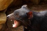 aggressive-behaviour;animal;animals;Australasian;Australia;Australian;carnivorous;carnivorous-marsupial;carnivorous-marsupials;Dasyuridae;Island-of-Tasmania;mammal;mammals;marsupial;marsupials;Sarcophilus;Sarcophilus-harrisii;snarling;Southern-Tasmania;State-of-Tasmania;Tas;Tasman-Peninsula;Tasmania;Tasmanian-Devil;Tasmanian-Devil-Conservation-Park;Tasmanian-Devils;Tassy-Devil;wildlife