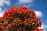 Australasian;Australia;Australian;bloodwood-tree;bloodwood-trees;Corymbia-ficifolia;gum-tree;gum-trees;gumnut-tree;gumnut-trees;Island-of-Tasmania;Marrawah;North-West-Tasmania;North-Western-Tasmania;Northern-Tasmania;red-flower;Red-Flowering-Gum-Tree;Red-Flowering-Gum-Trees;red-flowers;Red_flowering-Gum-Tree;State-of-Tasmania;Tas;Tasmania;The-North;tree;trees
