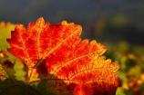 agricultural;agriculture;australasian;Australia;australian;autumn;boynton-vineyard;boynton-winery;Boyntons-of-Bright-winery;Boyntons-of-Bright;bright;color;colors;colour;colours;country;countryside;crimson;crop;crops;cultivation;fall;farm;farming;farmland;farms;field;fields;grape;grapes;grapevine;horticulture;leaf;leaves;porepunkah;red;row;rows;rural;scarlet;Victoria;vine;vine-leaf;vine-leaves;vines;vineyard;vineyards;vintage;wine;wineries;winery;wines