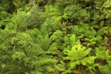 aerial-walkway;aerials-walkways;australasia;Australia;australian;bush;canopy;canopy-walk;eco-tourism;ecotourism;fern;ferns;forest;forests;great-ocean-road;green;lush;luxuriant;native-bush;native-forest;native-forests;natural;nature;Otway-Fly;otway-range;Otway-Ranges;plant;plants;rain-forest;rain-forests;rain_forests;rainforest;rainforest-canopy;rainforest-walk;rainforests;tourism;travel;tree;Tree-Top-Walk;trees;vegetation;verdant;Victoria