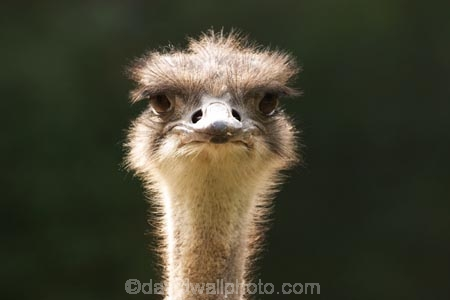 africa;african;animal;animals;australasian;Australia;australian;beak;bird;bird-spotting;birds;eyes;face;feather;feathers;game-viewing;Melbourne;melbourne-zoo;nature;neck;Ostrich;ostriches;park;parks;plain;plains;safari;safaris;savana;savanah;savanna;savannah;Struthio-camelus;Victoria;wild;wildlife;zoo;zoos