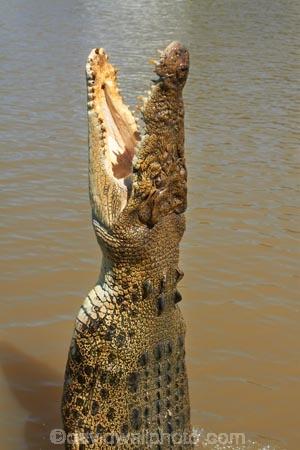 Adelaide-River;Adelaide-River-Cruises;Australia;Australian;croc;crocodile;crocodiles;Crocodylus-Porosus;crocs;danger;dangerous;dangerous-wildlife;jumping-crocodile-cruise;N.T.;Northern-Territory;NT;reptile;reptiles;saltwater-crocodile;saltwater-crocodiles;salty;spectacular-jumping-crocodile-cruise;Top-End;tourist-attraction;wildlife